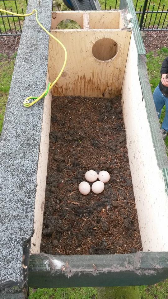 Steenuilenkast met eieren