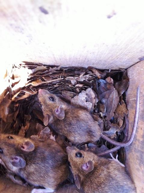 Muizen in de nestkast, foto Simon Bijl