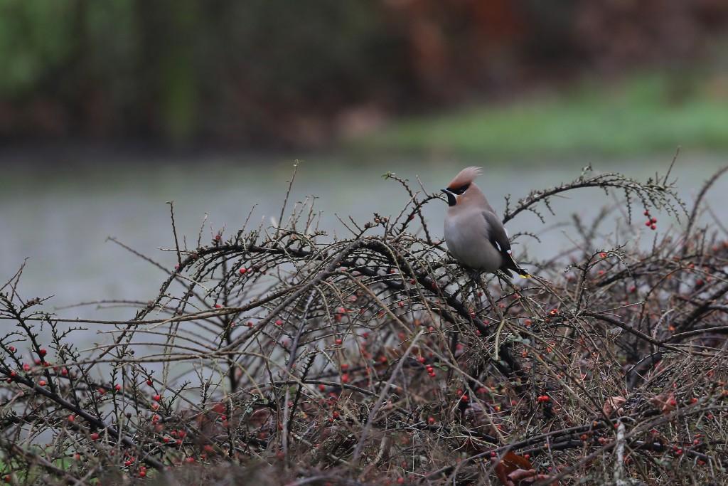 Pestvogel, foto John de Roos, Kolonieweg, 9-1-16