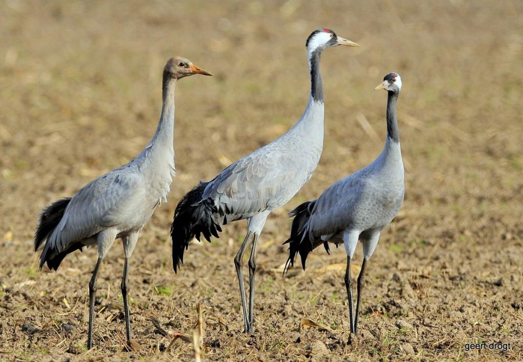 Kraanvogels - foto Geert Drogt