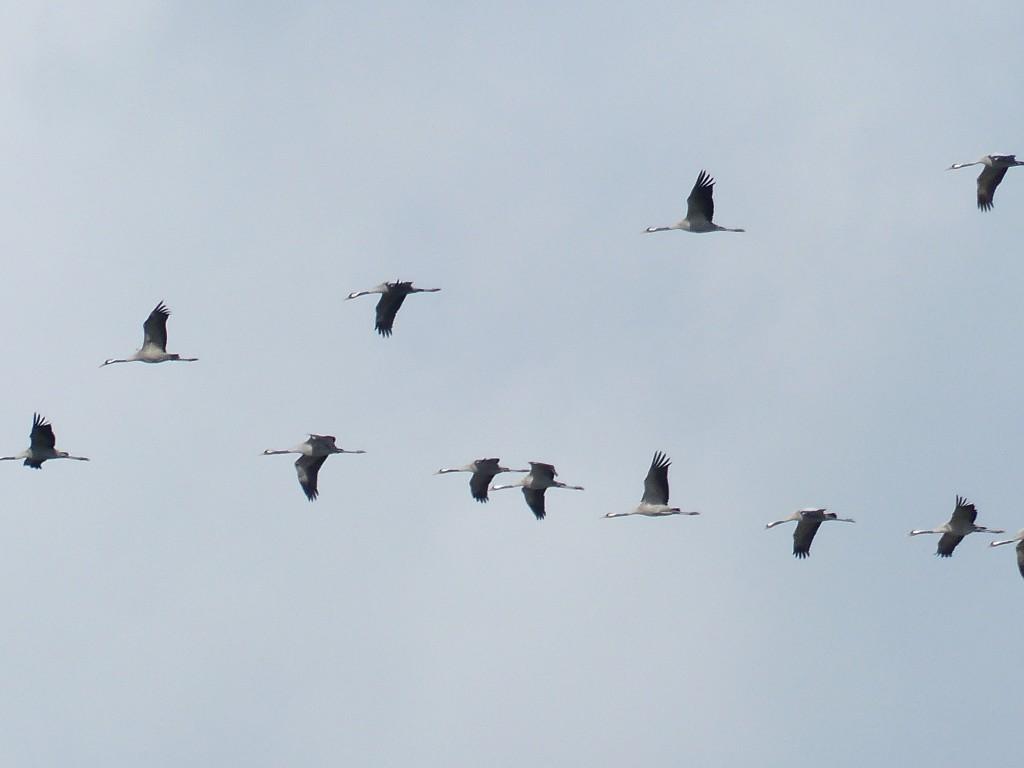 Kraanvogels - foto Janneke Mulder