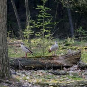 Nijlganzen in het bos - foto Erik Severiens