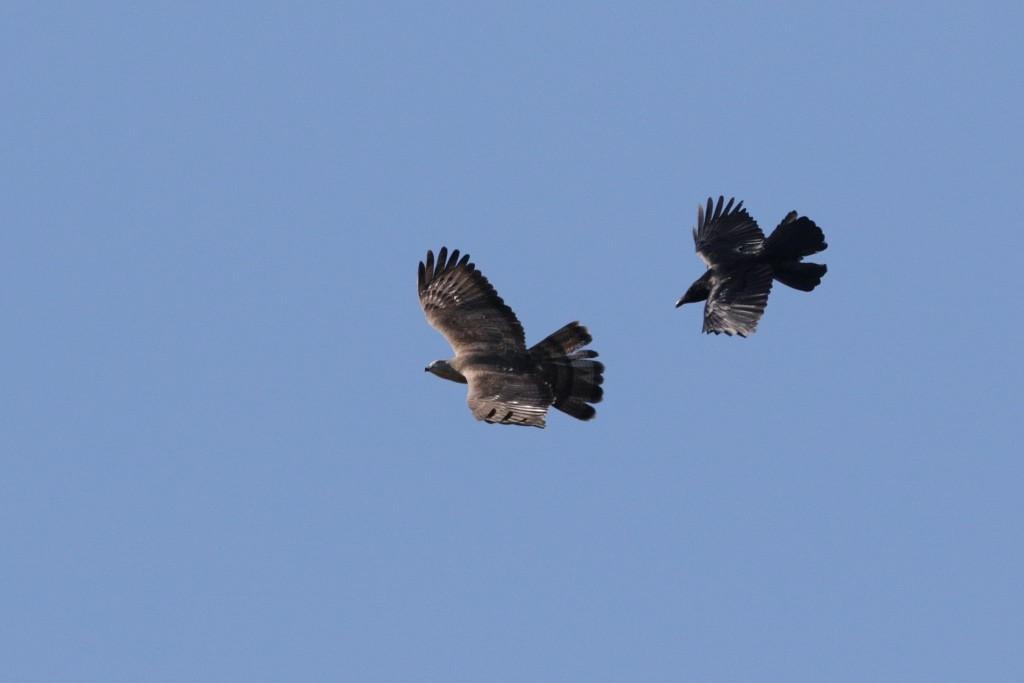 Wespendief vs Zwarte Kraai. Foto door John de Roos