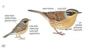 Bergheggenmus - foto uit Collins Bird Guide