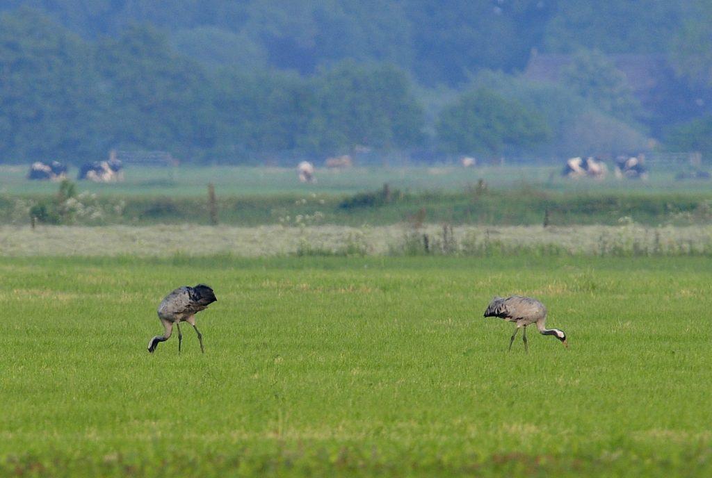 Kraanvogels, foto: Geert Drogt