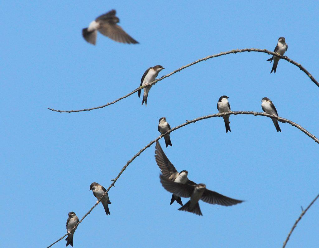 Huiszwaluw, foto Geert Drogt