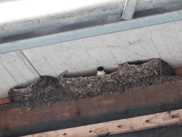 Huiszwaluw Zwambag