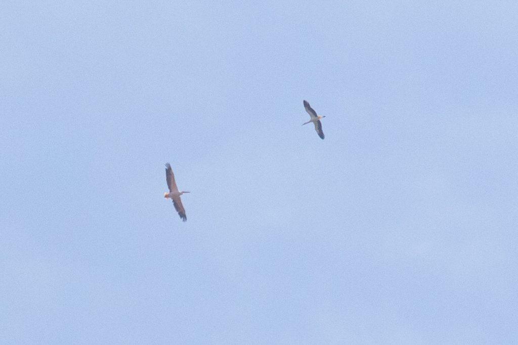 Bart Hoekstra fotografeerde hét hoogtepunt bij de waarnemingen: de roze pelikaan.
