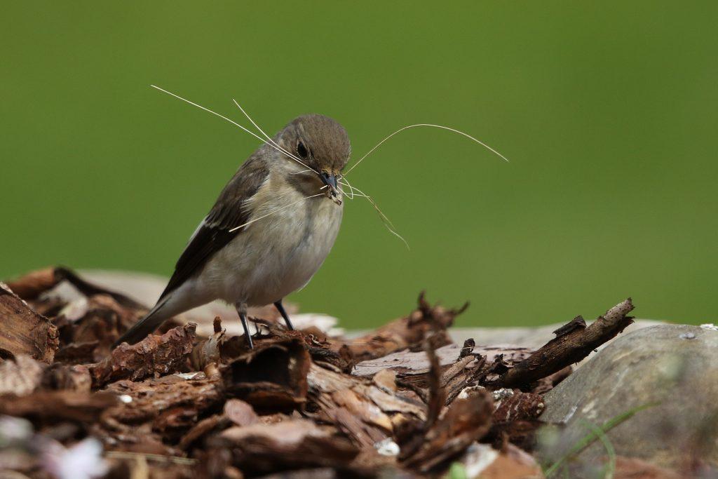 De bonte vliegenvanger verzamelt materiaal om een lekker nest te bouwen.