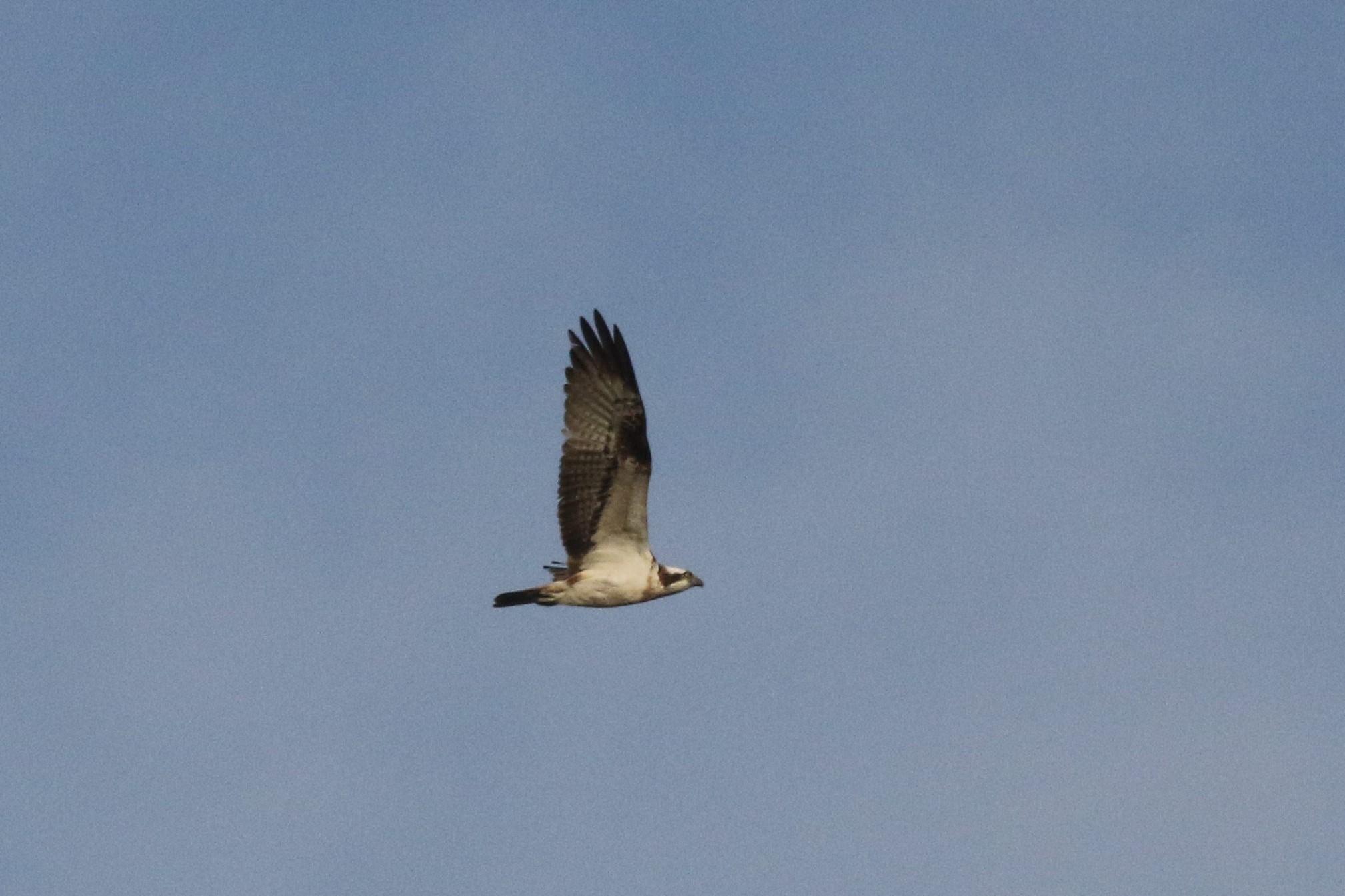 Visarenden werden tot 1 mei nog niet opgemerkt door onze 'tuinvogelaars'.