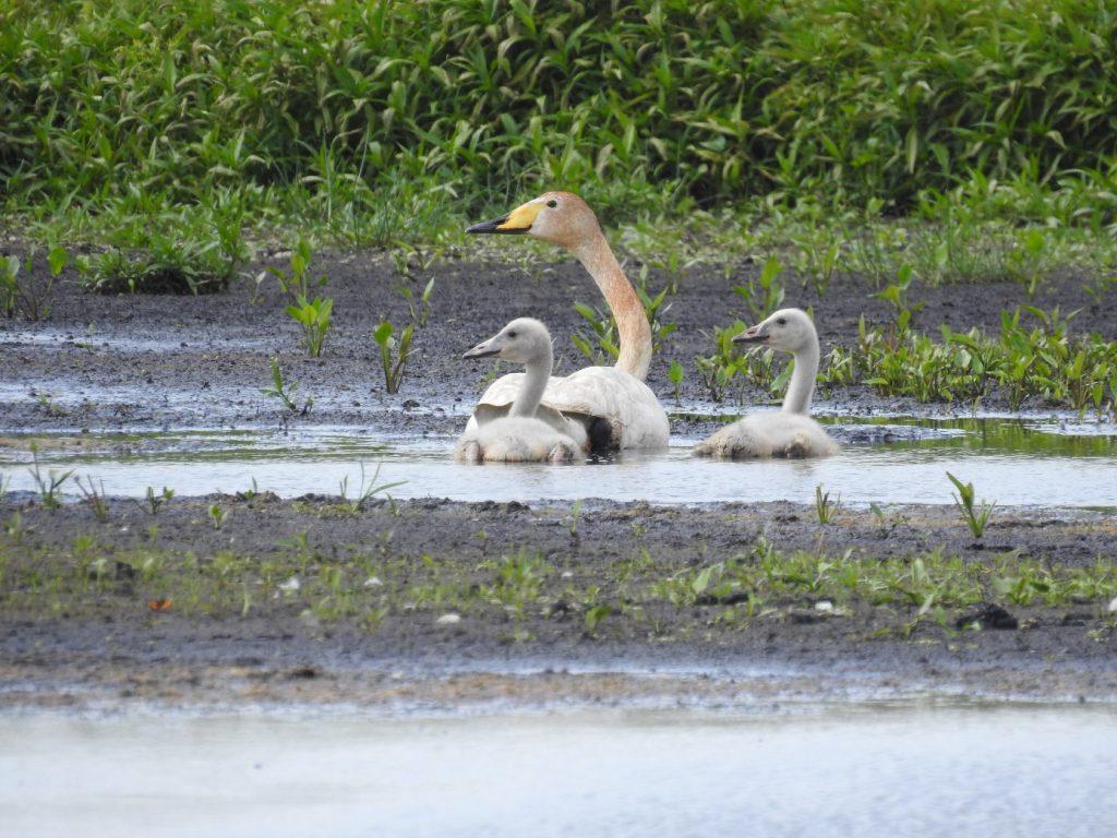 Vrouw wilde zwaan met nog twee van de drie jongen in droogvallend moerasgebied op 24 juni 2018 (foto Piet Kerssies)