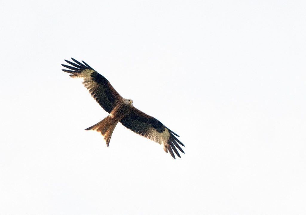 Rode wouw boven nestplaats De Wijk (foto Ronald Messemaker).