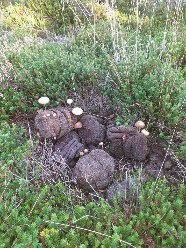 Wat grazende runderen in het Holtingerveld achterlaten vormt een prima voedingsplek voor ander fraai spul.