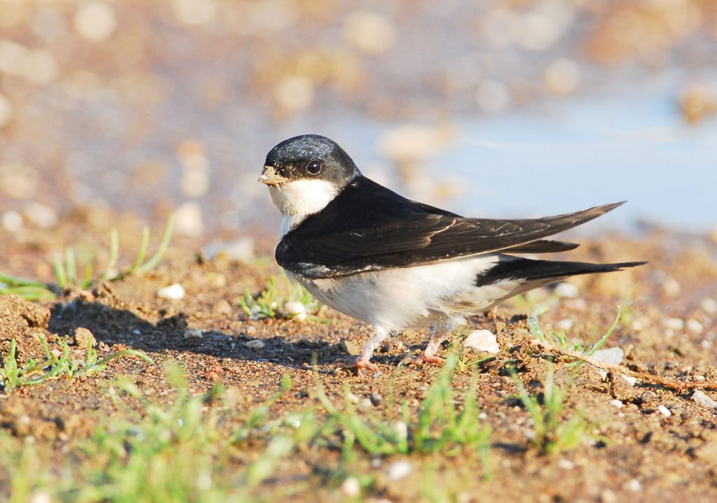 Huiszwaluw (foto Geert Drogt)