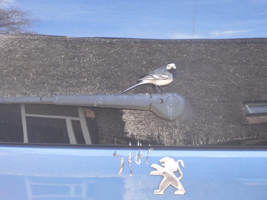 Witte kwikstaart tegen de achterruit van auto met daarin weerspiegelde rieten dak. (Foto Arend van Dijk)